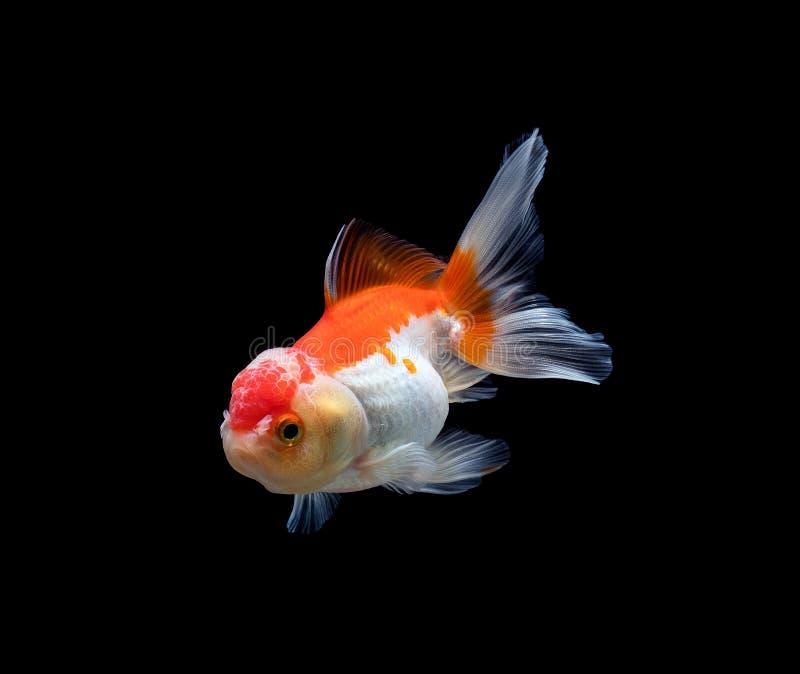 peixe-dourado isolado sobre fundo preto escuro fotos de stock