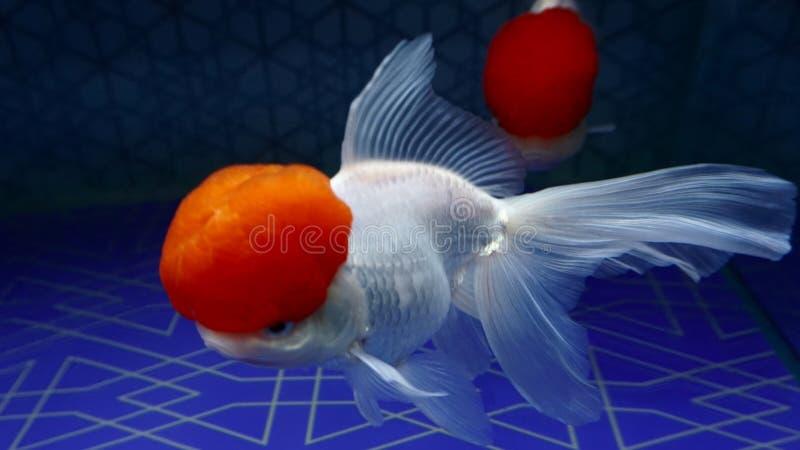 """Peixe dourado japonês no aquário Este peixe foi nomeado """"tancho fotografia de stock royalty free"""