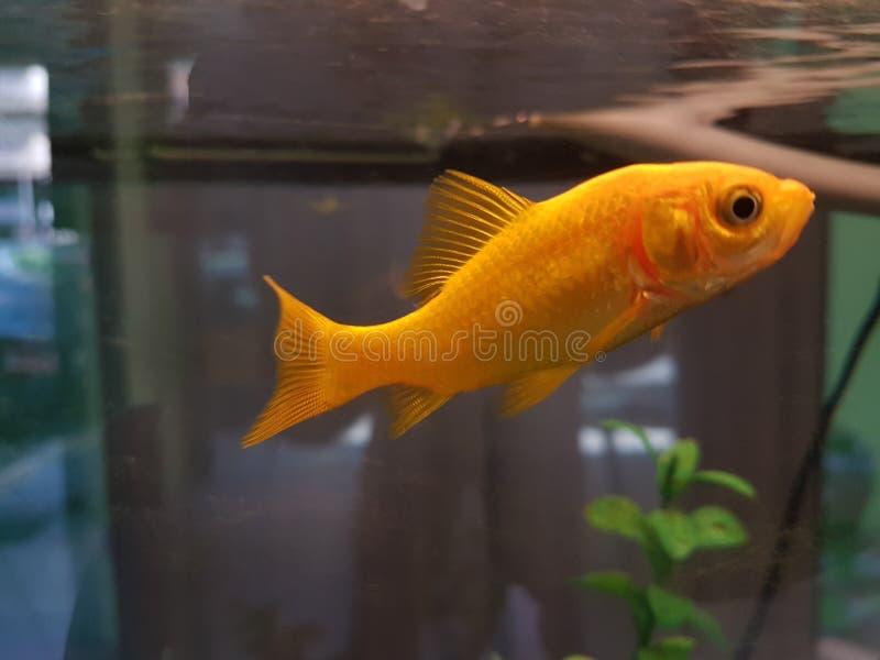 Peixe dourado no aquário de vidro similar ao ambiente natural foto de stock