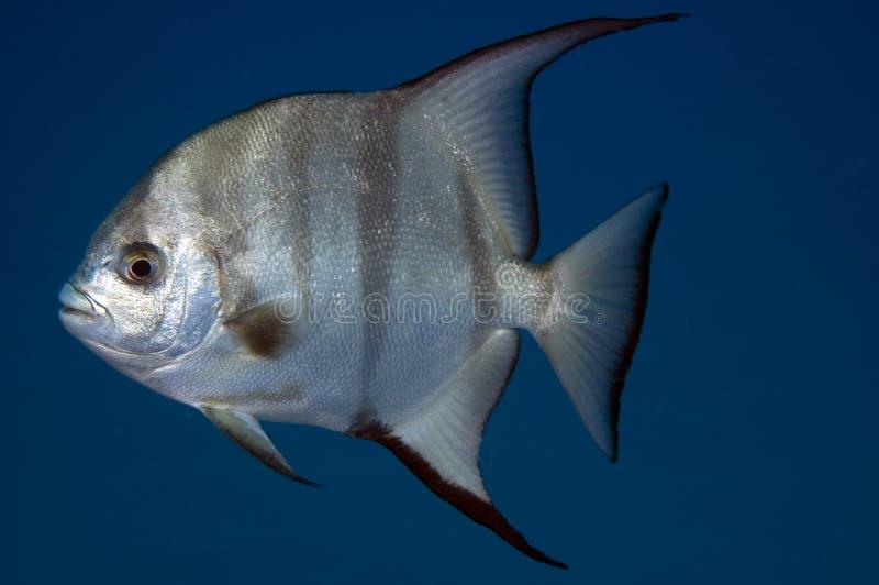Peixe-espadas fotografia de stock