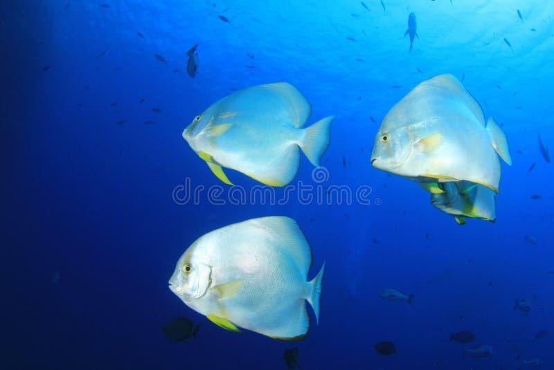 Peixe-espadas (Batfish) imagem de stock