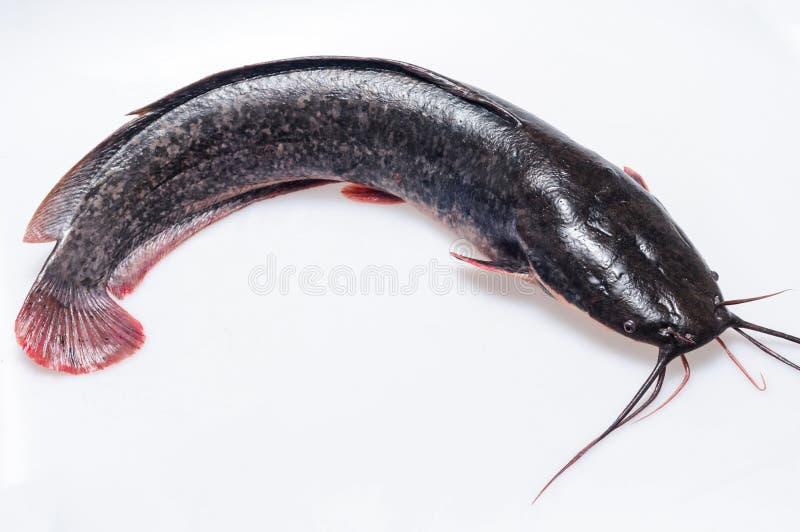 Peixe-gato imagens de stock royalty free