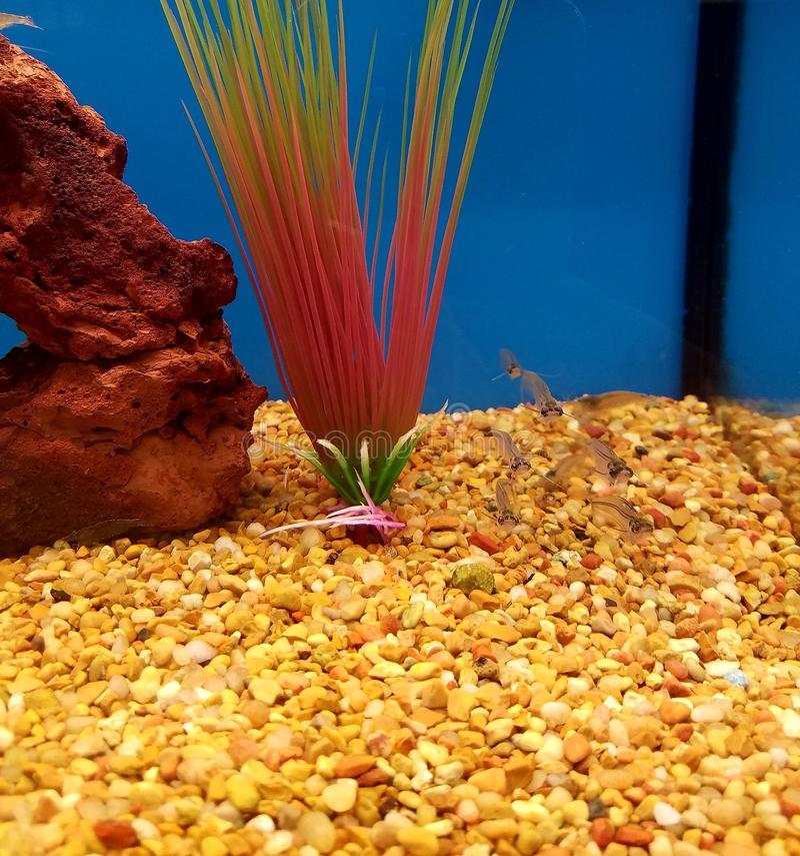 Peixe-gato de vidro em um tanque foto de stock royalty free