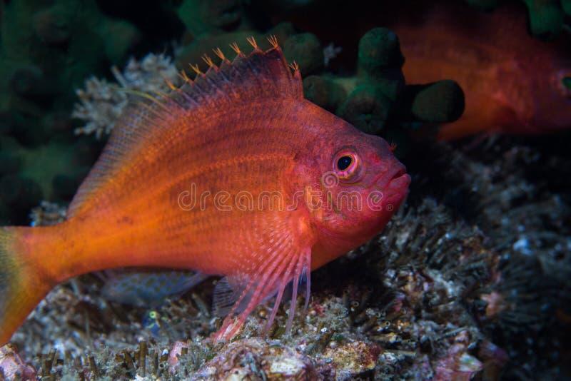Peixe-gato-do-mato-engolido Cyprinocirrhites peixes poliactis de cor clara imagem de stock royalty free