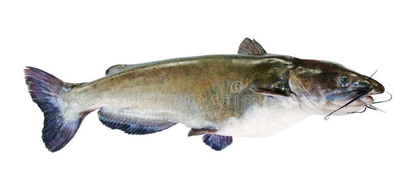 Peixe-gato Flathead fotografia de stock