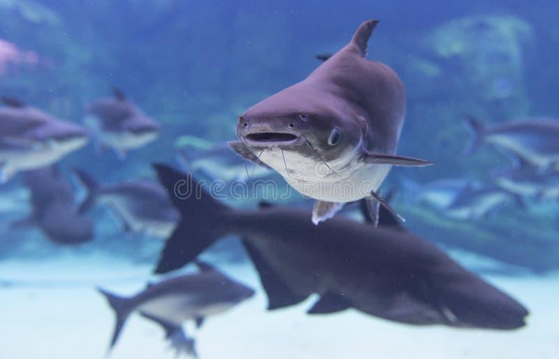 Peixe-gato gigante imagem de stock
