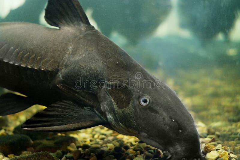 Peixe-gato preto Oxydoras niger Peixes de água doce no rio fotos de stock