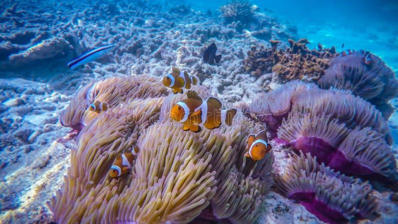 Peixe-palhaço num recife de coral, na ilha de Perhentian, Malásia imagem de stock royalty free
