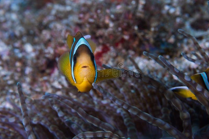 Peixe-voador Twobar Amphiprion allardi fotografia de stock royalty free