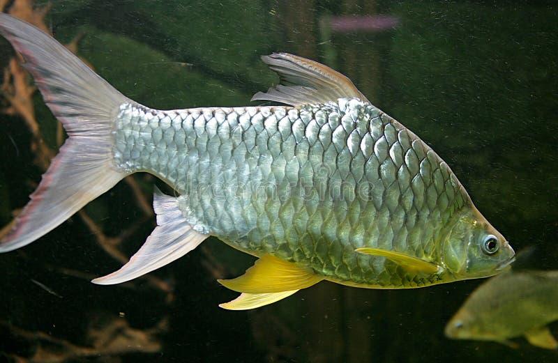 Peixes 7 do aquário fotos de stock