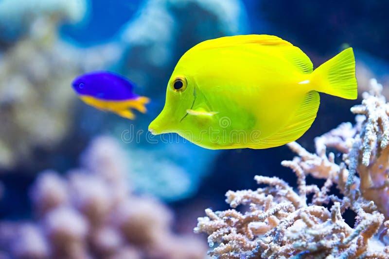Peixes amarelos do aquário fotos de stock royalty free