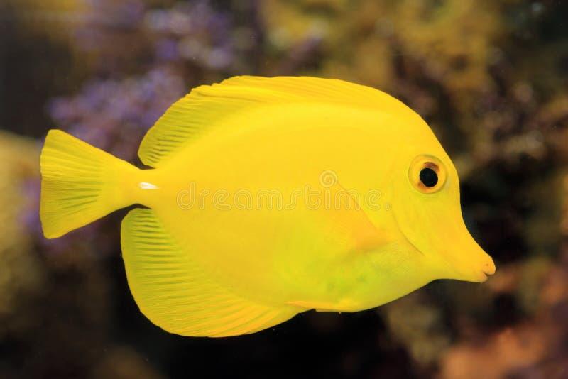 Peixes amarelos do cirurgião fotografia de stock royalty free