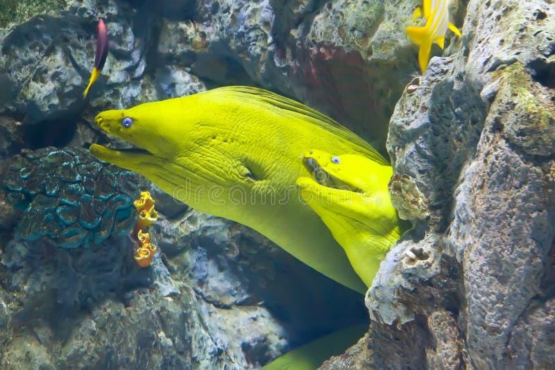 Peixes amarelos do moray no recife de corais imagem de stock royalty free