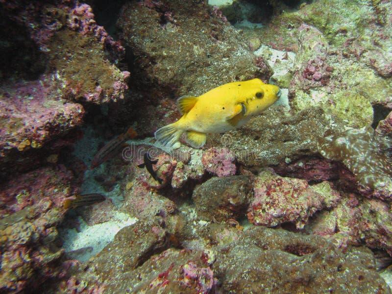 Peixes amarelos do soprador, Blowfish entre corais foto de stock royalty free