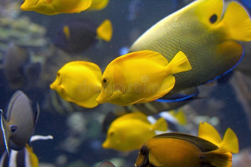 Peixes amarelos no tanque foto de stock royalty free