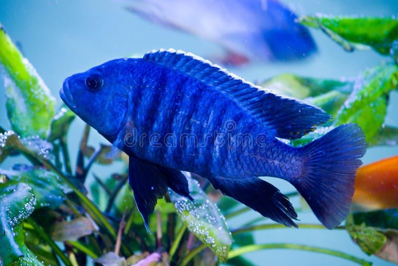 Peixes azuis imagens de stock