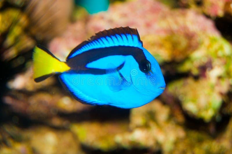 Peixes azuis do cirurgião de Tang fotos de stock