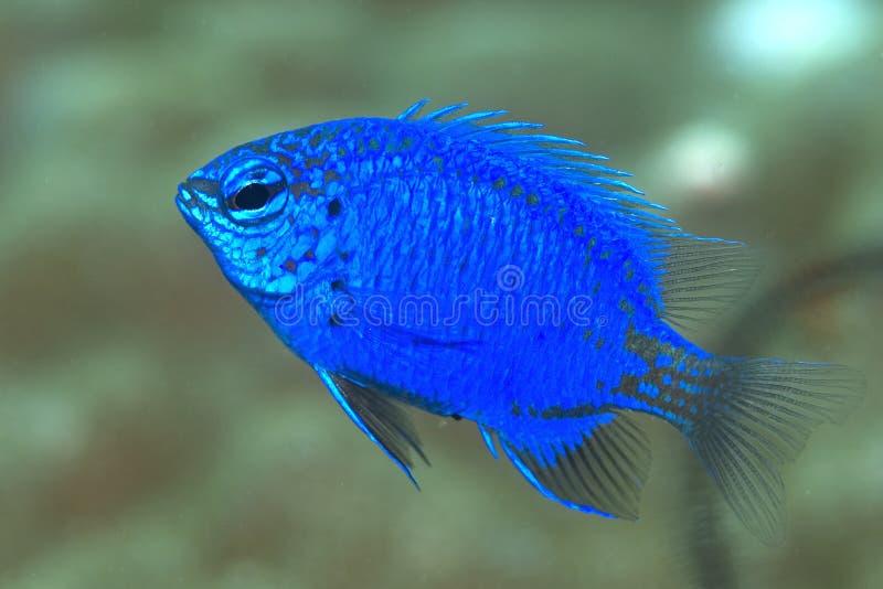 Peixes azuis do damsel fotos de stock royalty free