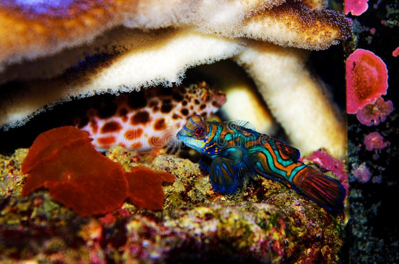 Peixes azuis do mandarino - splendidus de Synchiropus foto de stock royalty free