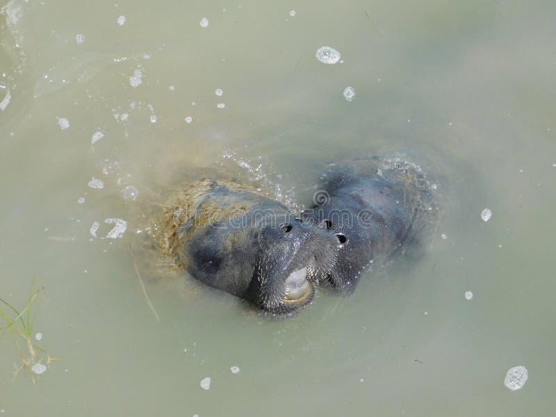Peixes-boi, mãe e bebê no porto dos marismas imagens de stock