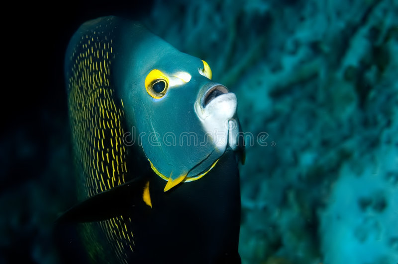 Peixes Bonaire do anjo fotografia de stock royalty free