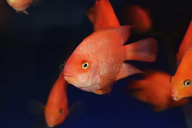 Peixes bonitos bonitos do papagaio imagem de stock