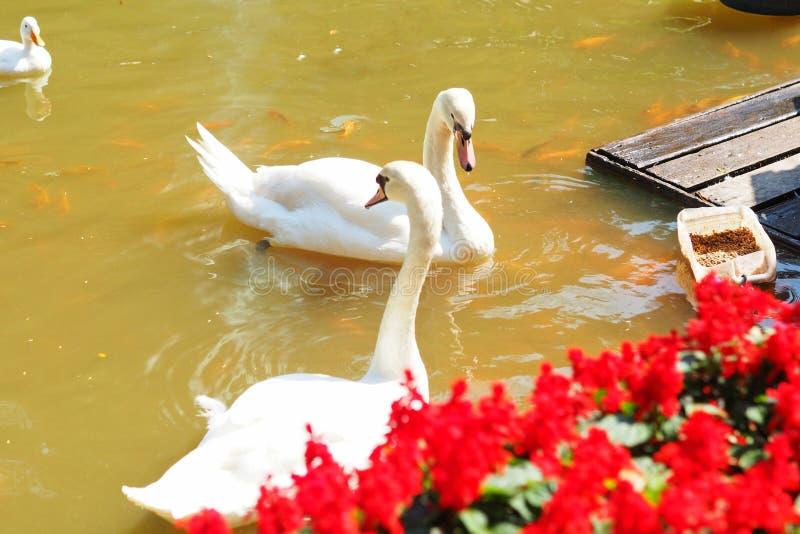Peixes brancos, Cisne branco e koi laranja que comem alimentos imagem de stock