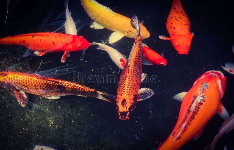 Peixes coloridos brancos e alaranjados pretos vermelhos bonitos de Koi no canal da ?gua foto de stock royalty free