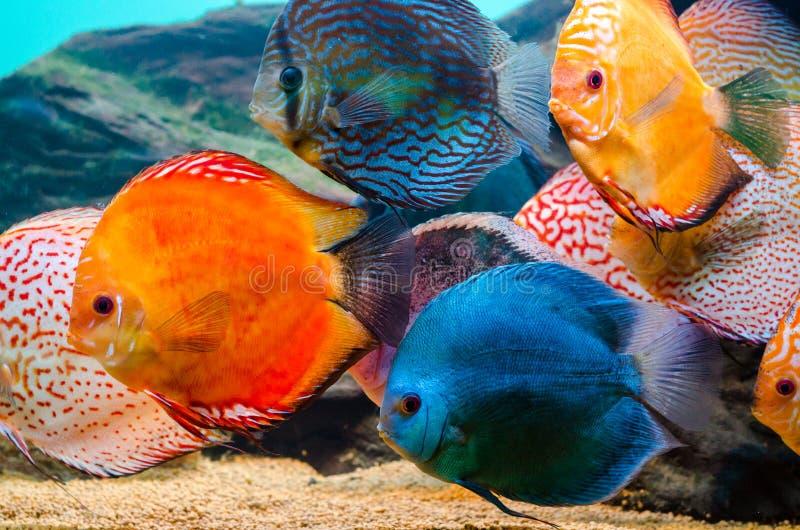 Peixes coloridos do disco fotografia de stock royalty free