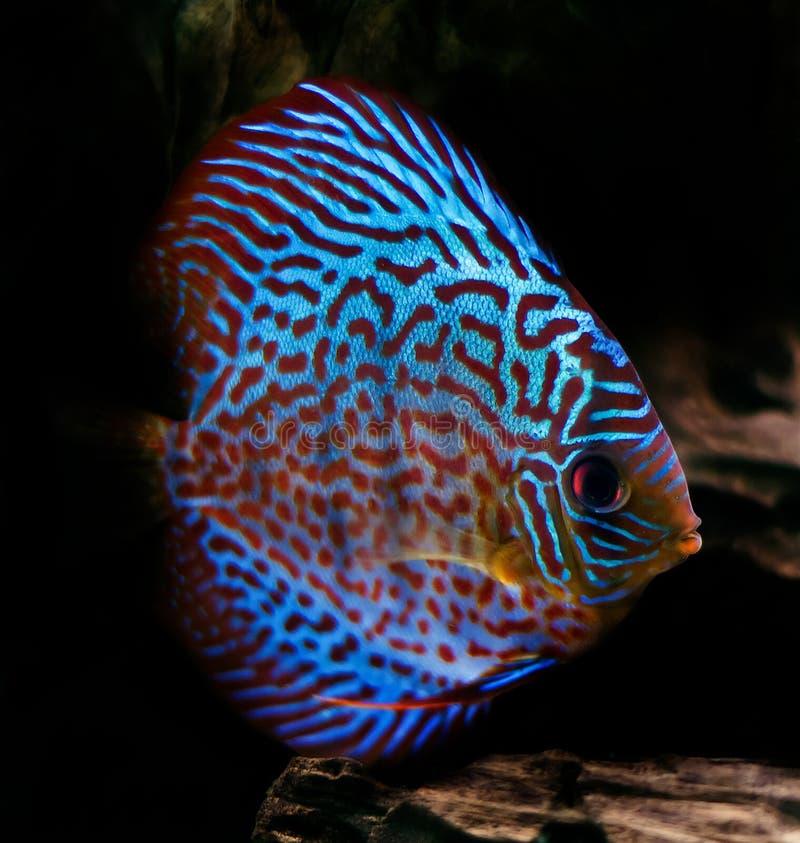 Peixes coloridos do disco foto de stock