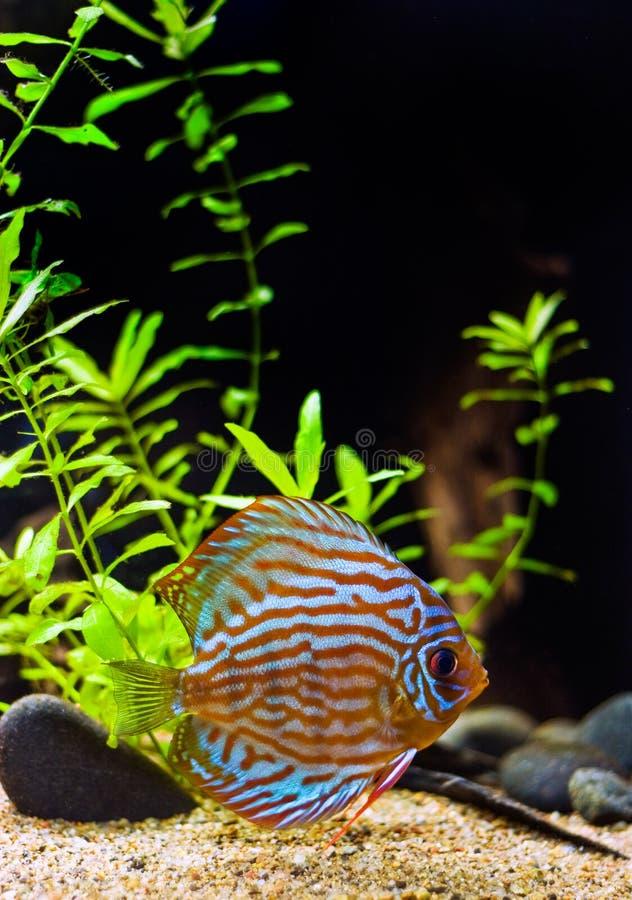 Peixes coloridos do disco imagem de stock