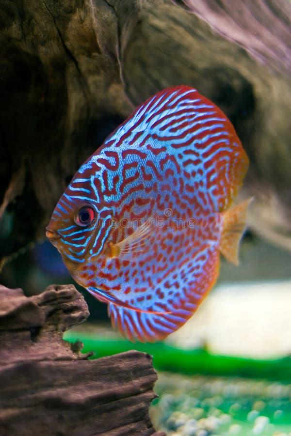 Peixes coloridos do disco fotografia de stock