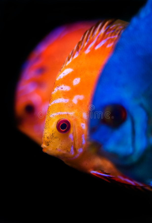 Peixes coloridos do disco foto de stock royalty free
