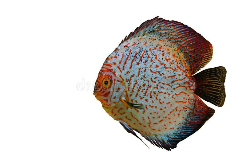Peixes coloridos do disco isolados no fundo branco imagem de stock