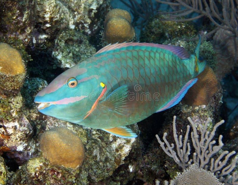 Peixes coloridos do papagaio que escondem no coral, Costa-Rica foto de stock