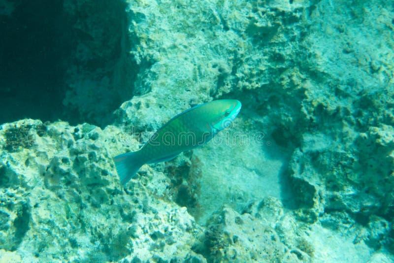 Peixes coloridos do recife de corais do mar tropical imagem de stock