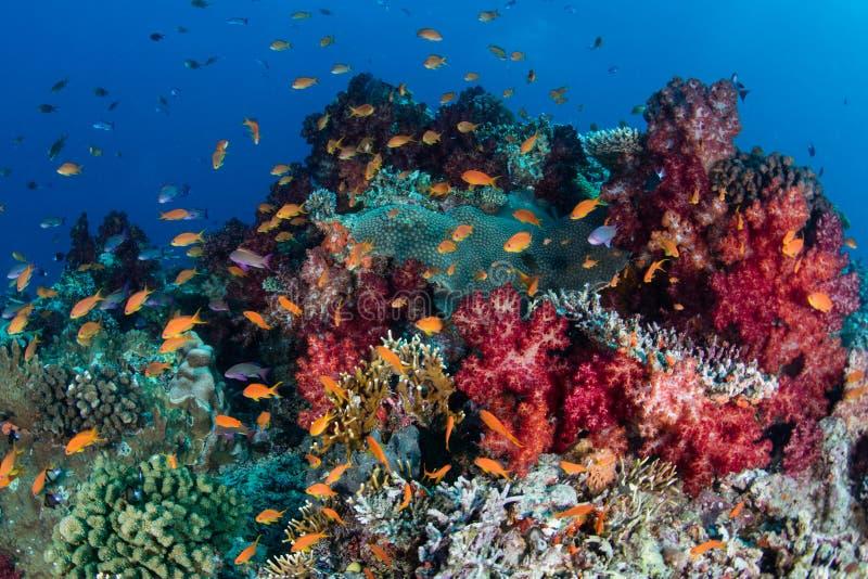 Peixes coloridos do recife e corais macios foto de stock