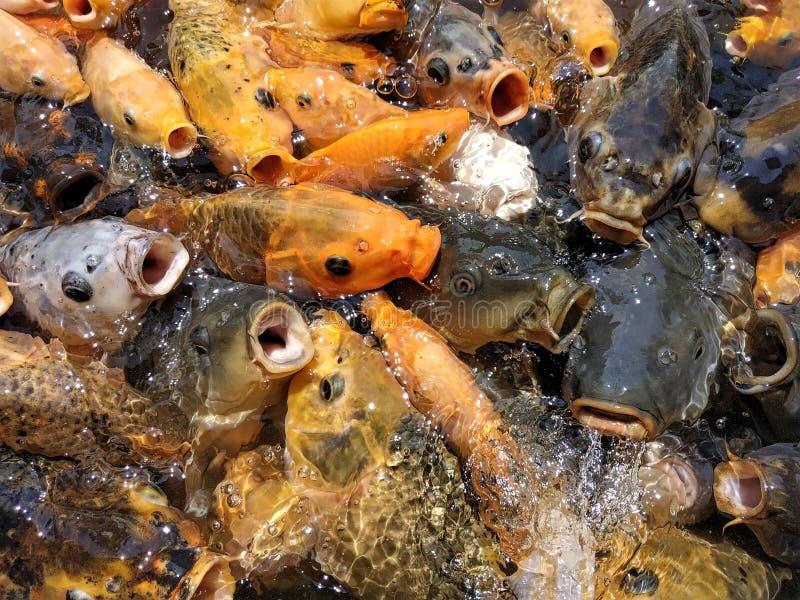 Peixes coloridos na lagoa na agitação de alimentação imagens de stock