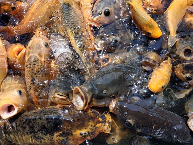 Peixes coloridos na lagoa na agitação de alimentação fotografia de stock royalty free