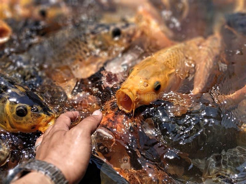 Peixes coloridos na lagoa na agitação de alimentação foto de stock