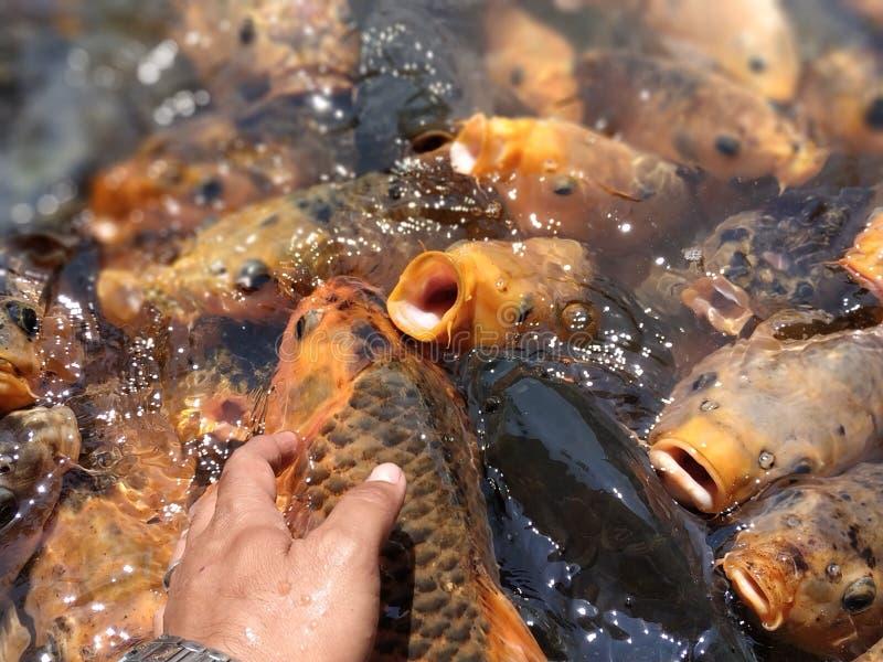 Peixes coloridos na lagoa na agitação de alimentação imagem de stock