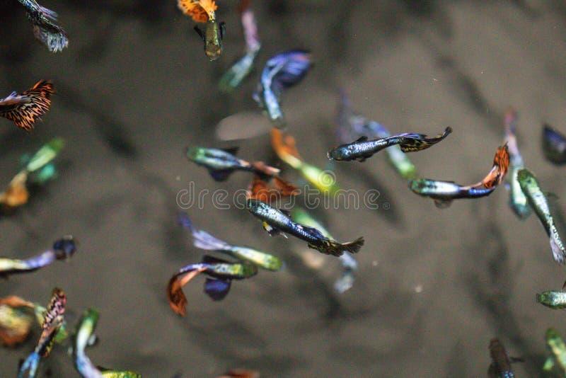 Peixes coloridos no aquário, milhões do Guppy de Barbados, milhão peixes Reticulata de Poecilia do reticulata de Poecilia imagens de stock royalty free