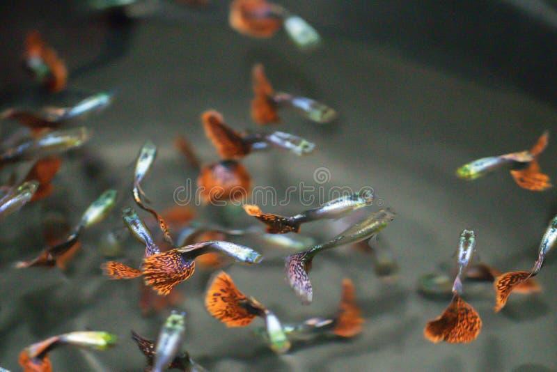 Peixes coloridos no aquário, milhões do Guppy de Barbados, milhão peixes Reticulata de Poecilia do reticulata de Poecilia fotografia de stock