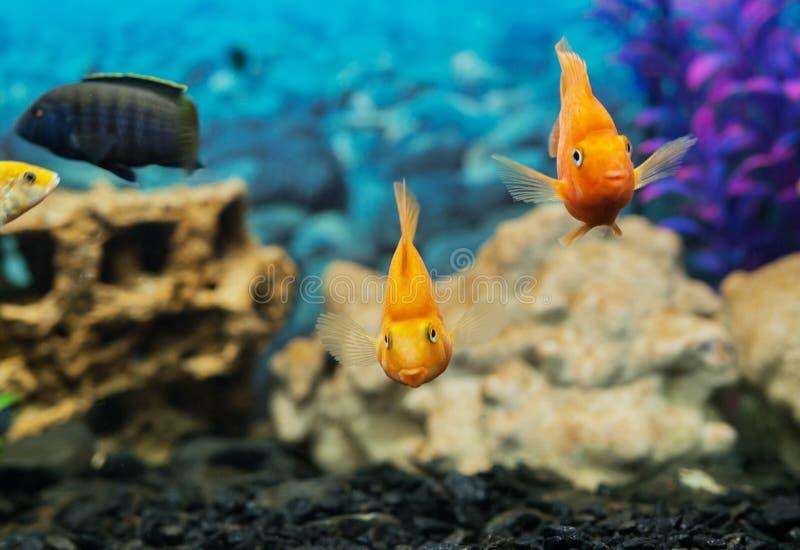 Peixes coloridos tropicais que nadam no aquário com plantas fotografia de stock