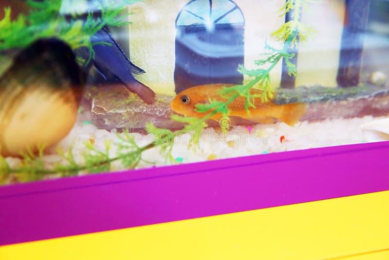 Peixes coloridos tropicais que nadam no aquário com plantas Peixes alaranjados no aquário Peixe dourado, aquário, um peixe no imagens de stock