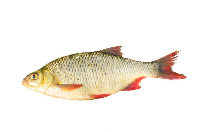 Peixes com as aletas vermelhas isoladas em um fundo branco imagem de stock