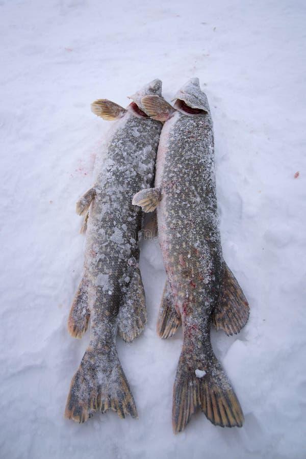 Peixes congelados do pique foto de stock royalty free