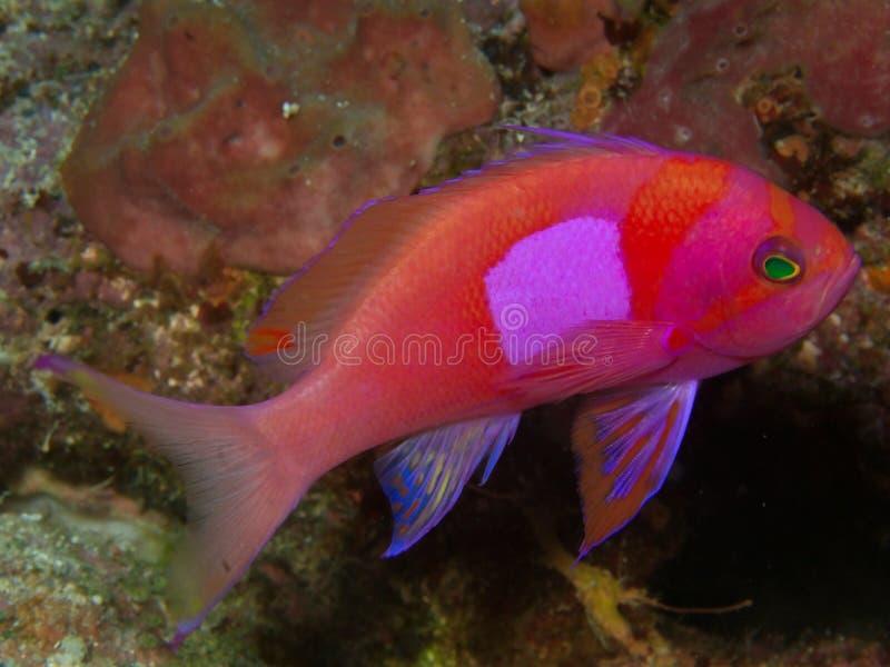 Peixes cor-de-rosa no assoalho de mar fotos de stock
