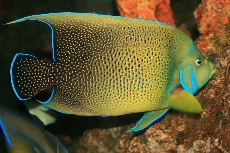 Peixes corais no Mar Vermelho fotos de stock