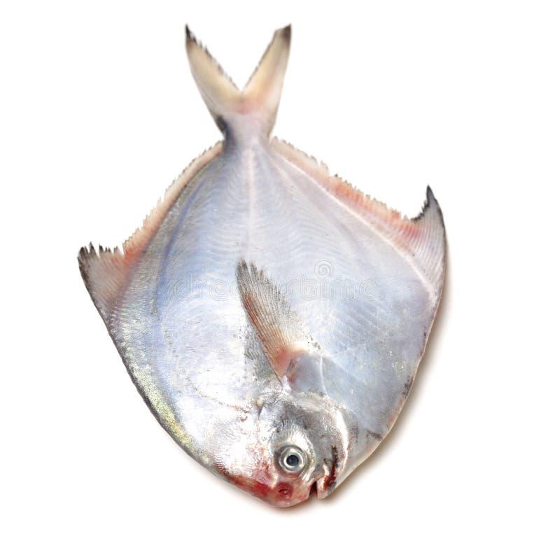 Peixes crus de Hummer Shimatsugao fotografia de stock